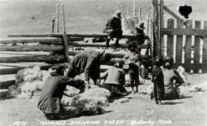 Navajos Shearing Sheep